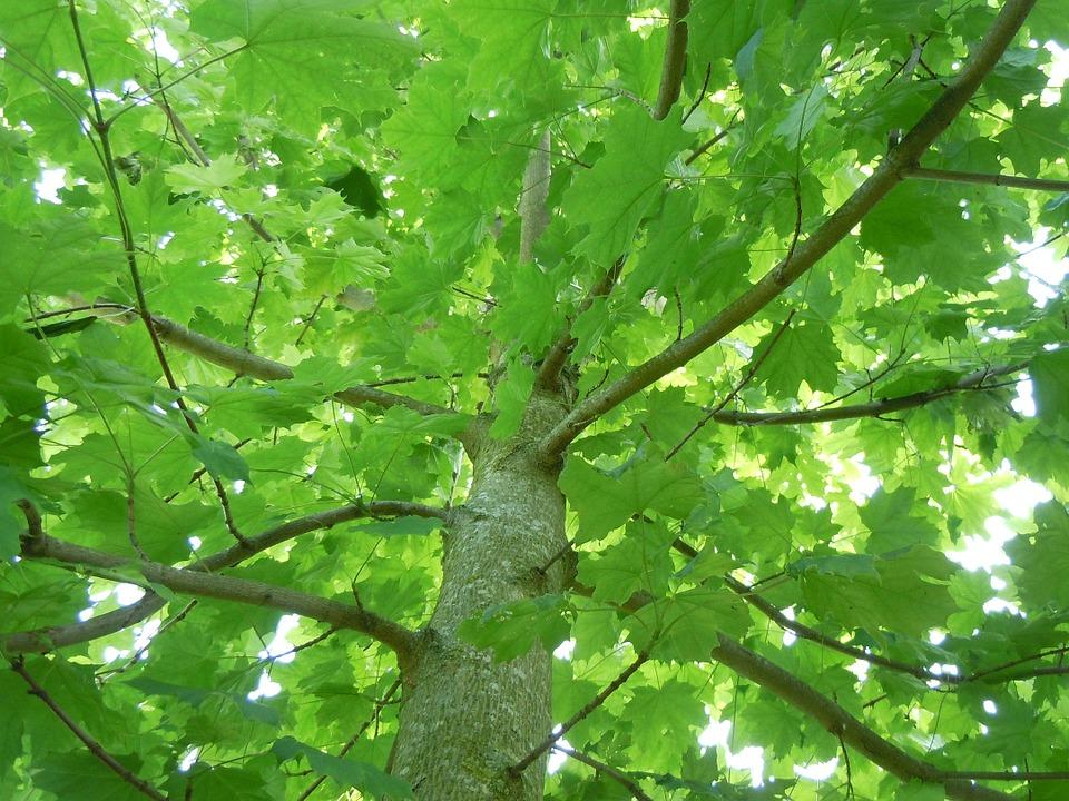 メープルの木